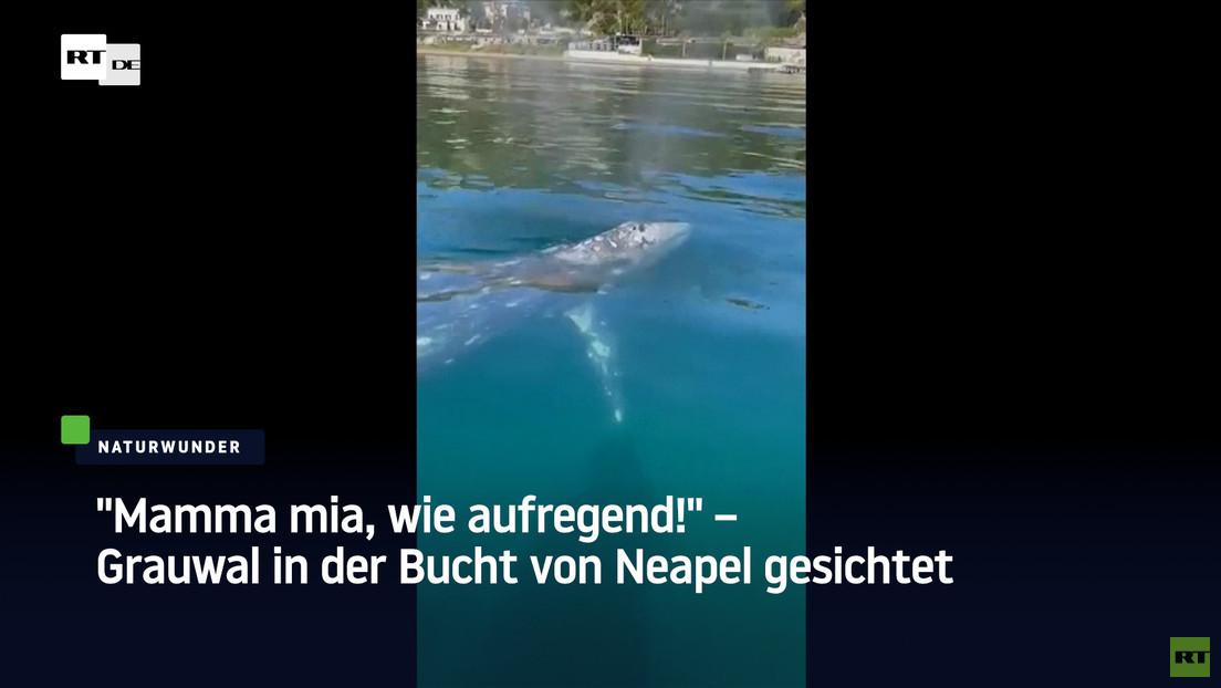 """""""Mamma mia, wie aufregend!"""" – Grauwal in der Bucht von Neapel gesichtet"""