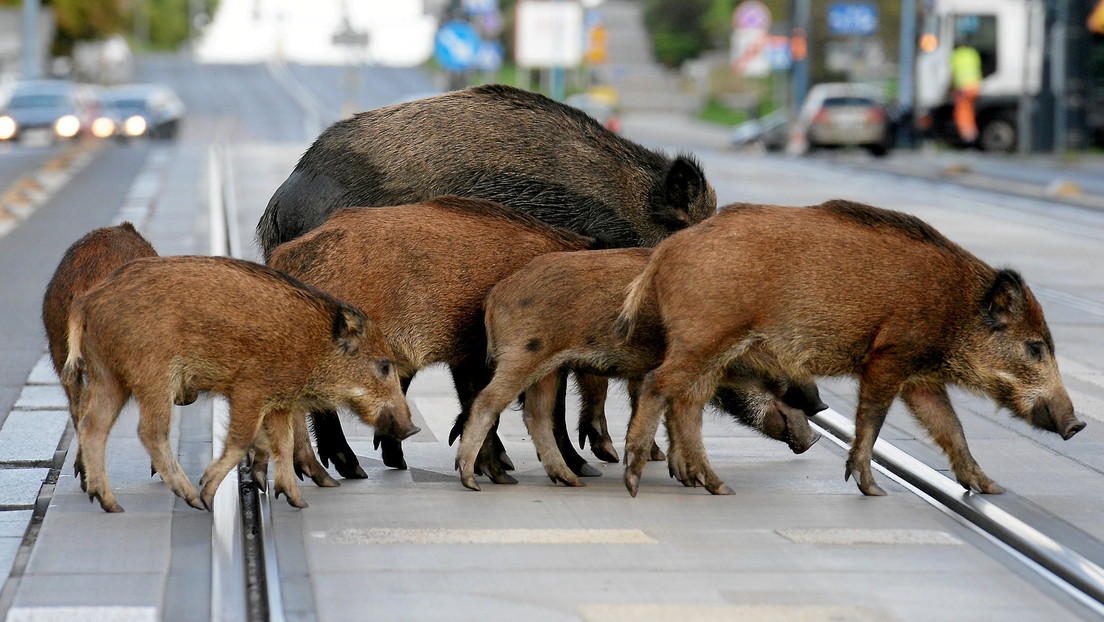 Grunzende Räuberbande: Wildschweine belauern Frau am Supermarkt und erbeuten deren Einkäufe