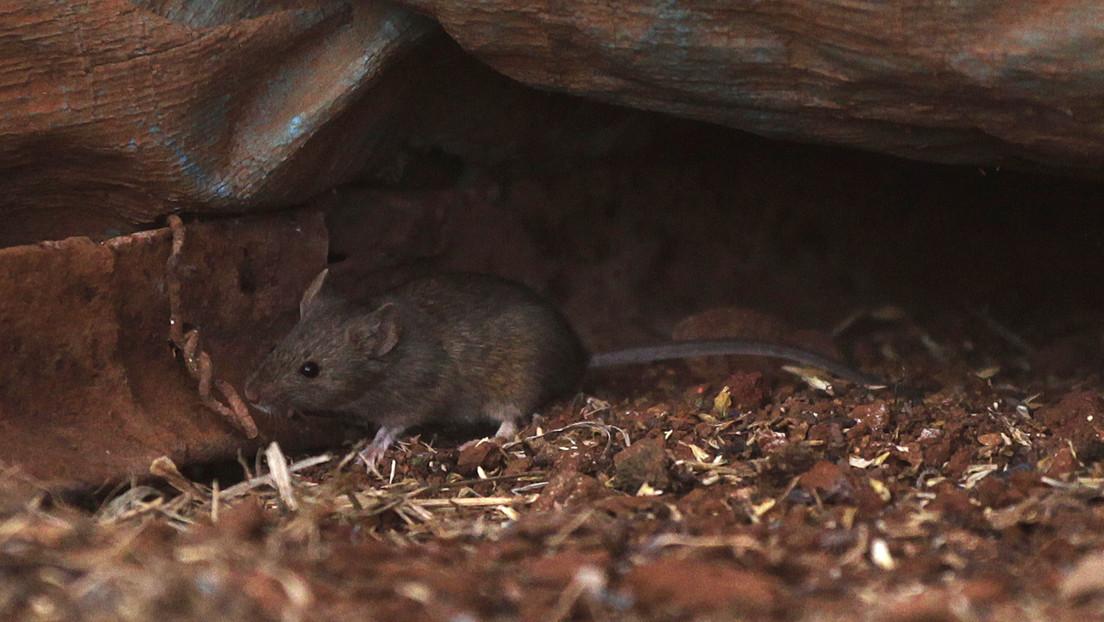 Mäuseplage in Australien zwingt zur Evakuierung eines Gefängnisses