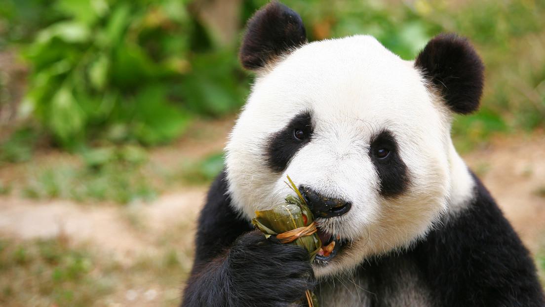 Erleichterung für Tierfreunde: China stuft Pandabären nicht mehr als stark gefährdete Tierart ein
