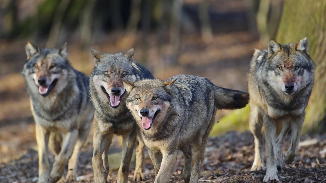 Studie mit neuer Erkennungsmethode belegt: Kaum Hundegene bei deutschen Wölfen