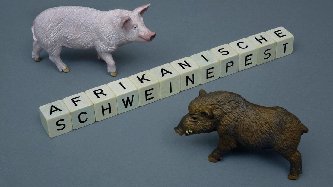 Afrikanische Schweinepest greift auf Hausschweine in Brandenburg über