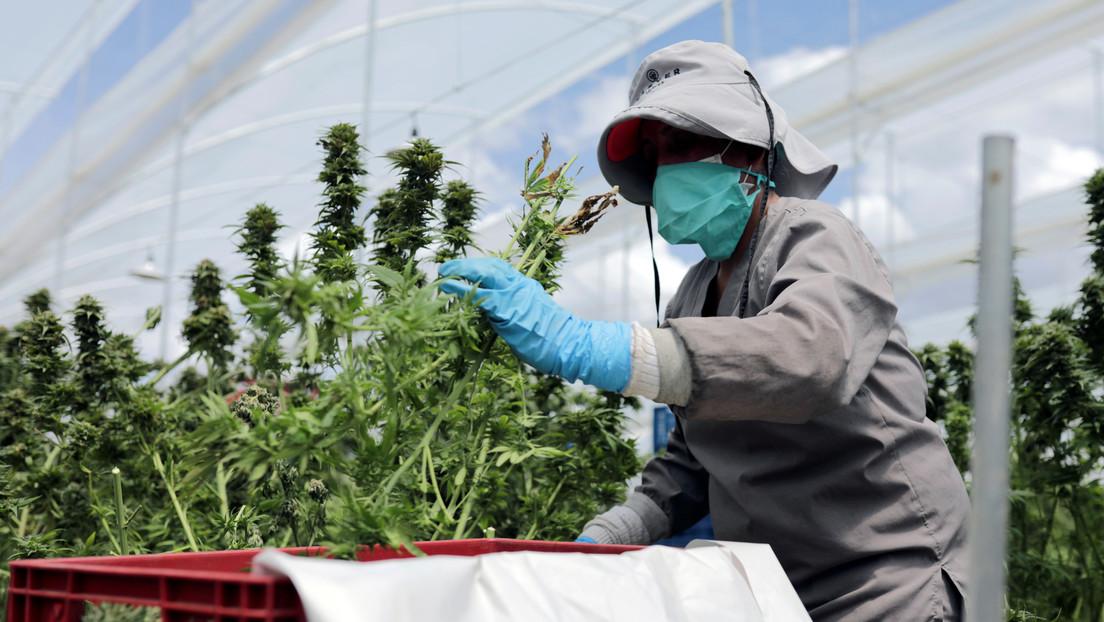 Kolumbien erlaubt Export von Cannabisblüten: Präsident Duque schwärmt von Ankurbelung der Wirtschaft