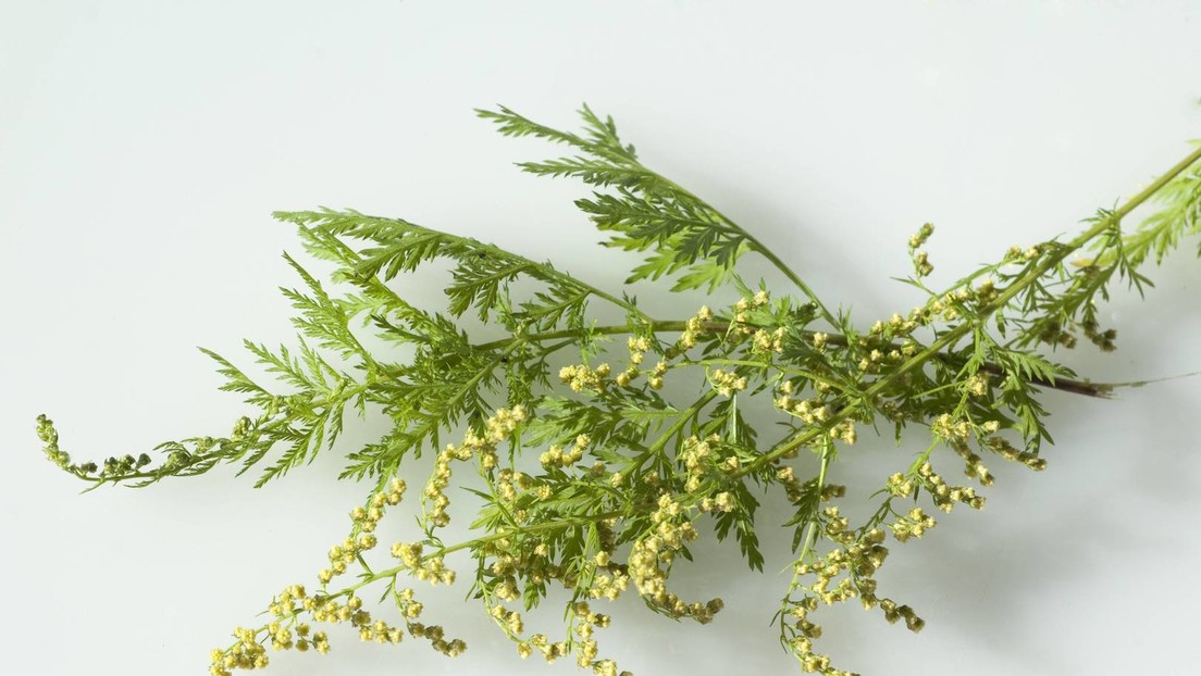 Studie: Pflanzenextrakte sind gegen SARS-CoV-2-Erreger wirksam