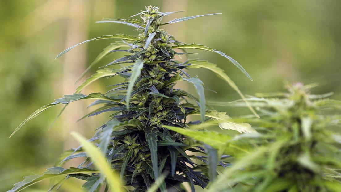 Schweizer Wissenschaftler: Cannabis ist eine chinesische Entdeckung