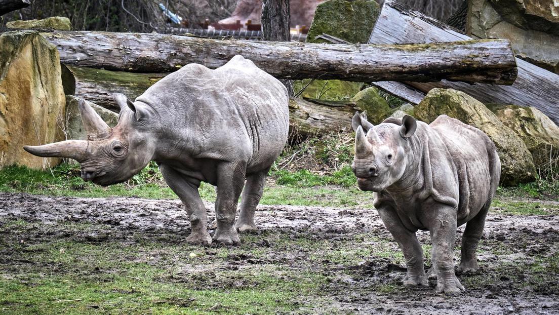 Wilderei in Südafrika: In sechs Monaten fast 250 Nashörner getötet