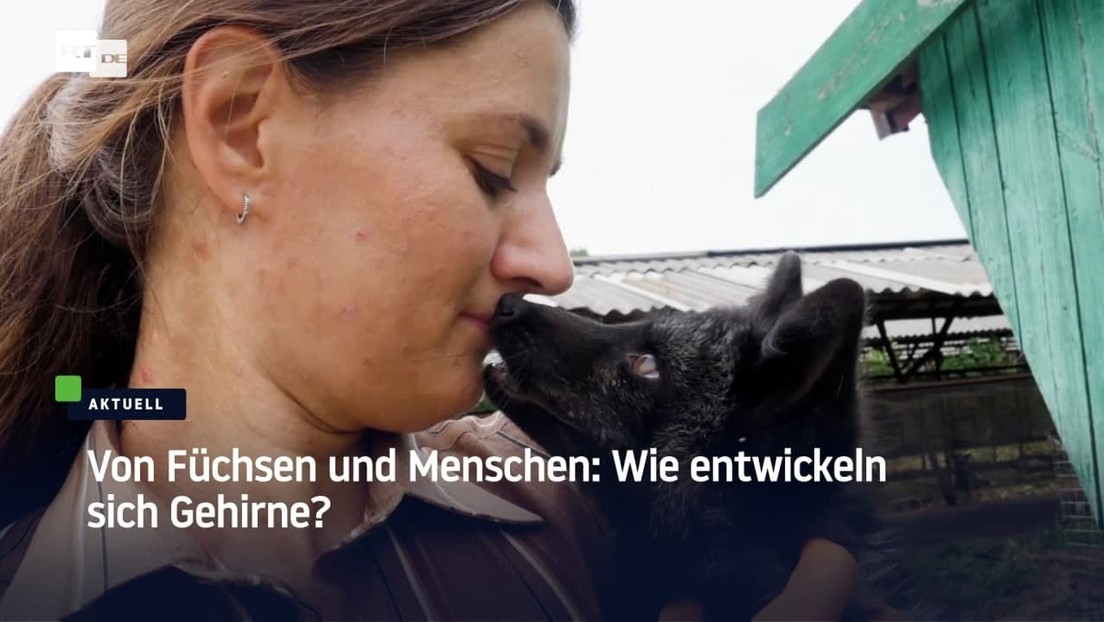 Je zahmer, desto schlauer? Russische Forscher untersuchen die Hirnentwicklung domestizierter Füchse