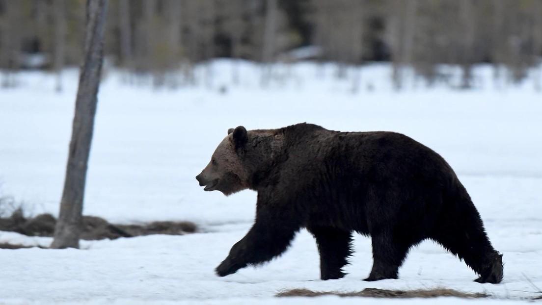 """Gendern bizarr: SWR-Seite bezeichnet Bären als """"Veganer:innen"""""""