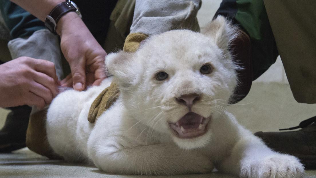 Jetzt sind die Tiere dran: Corona-Impfung in US-Zoos
