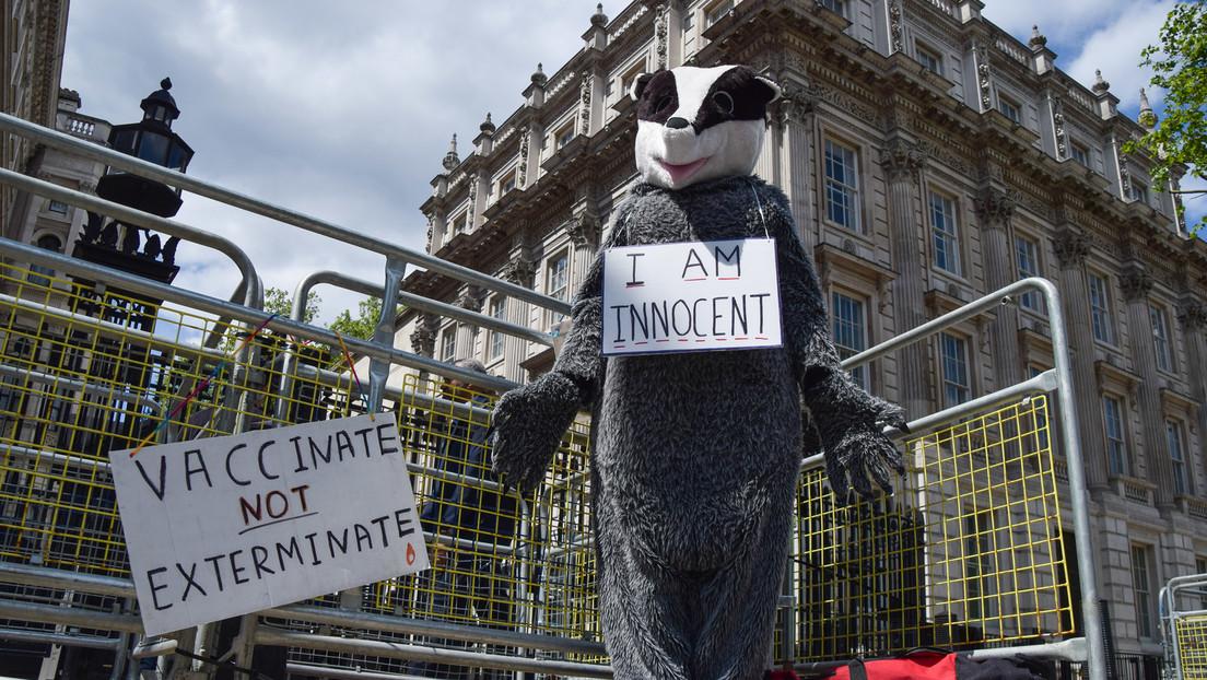 Zum Schutz der Rinder vor Tuberkulose: Tausende Dachse sollen in England gekeult werden