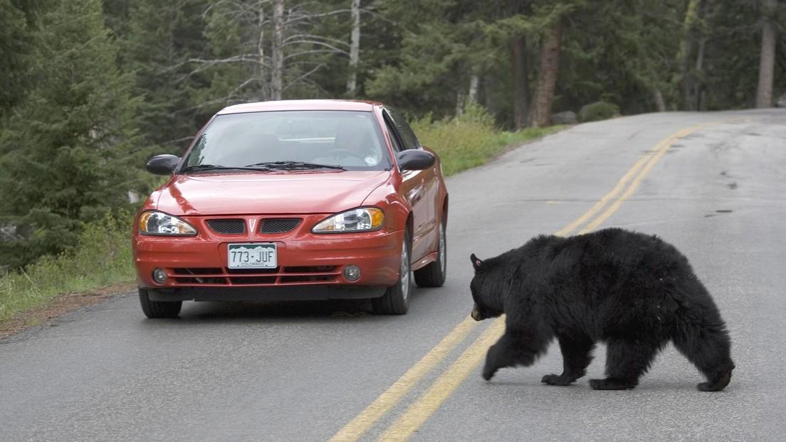 Bären zu nahe getreten: Gericht verurteilt Yellowstone-Besucherin zu vier Tagen Gefängnis
