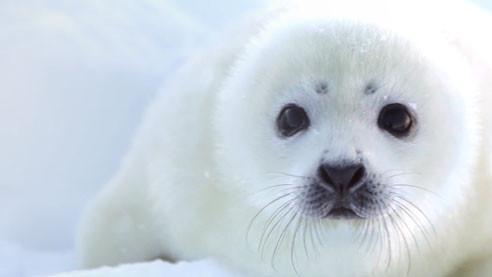 Белые и пушистые. Что происходит с популяцией гренландских тюленей