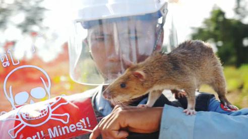 Маленькие сапёры. Как африканские крысы работают на минных полях