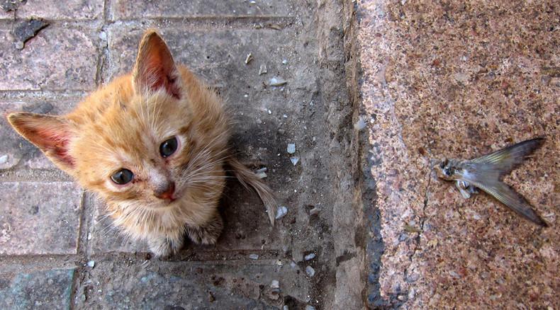 Native Western Australian Species Feral Cats
