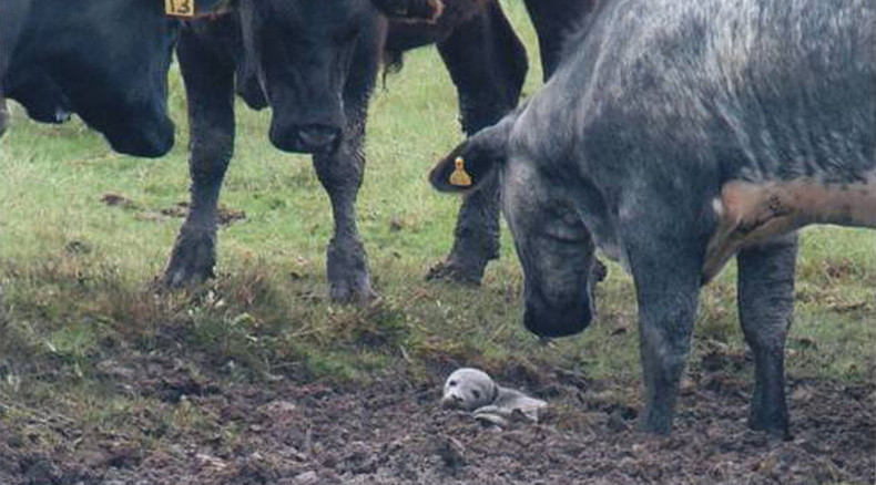 5 day-old baby seal stuck in mud, rescued by cows in England