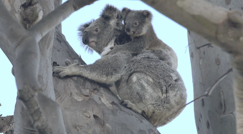 Internet sensation mama koala and cub released into the wild (VIDEO)