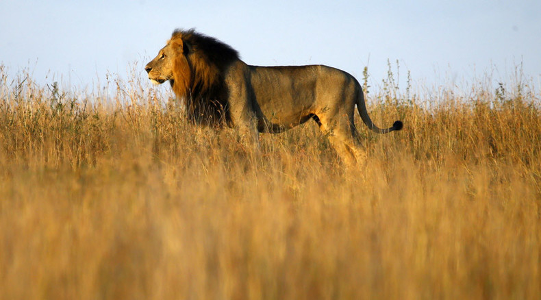 US govt never minded Americans killing rare lions before Cecil – WikiLeaks document