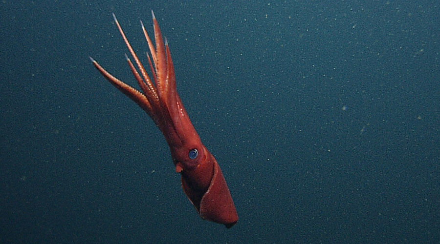 Giant squid alert: Beast from deep freaks out Russian sailors (VIDEO)