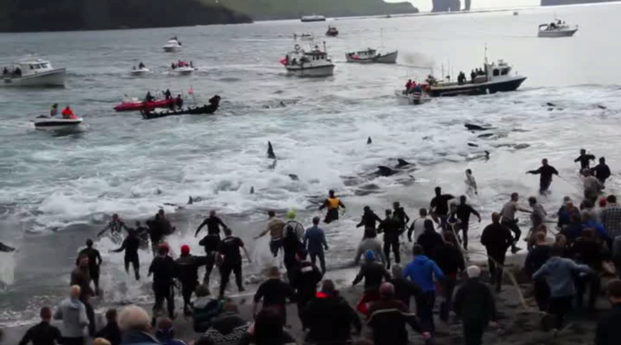 Activists film horrific slaughter of 250 whales in Faroe Islands (GRAPHIC VIDEO)