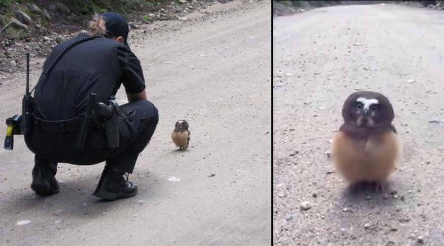 Tiny owl unfazed by road encounter with Colorado cop (PHOTOS, VIDEO)