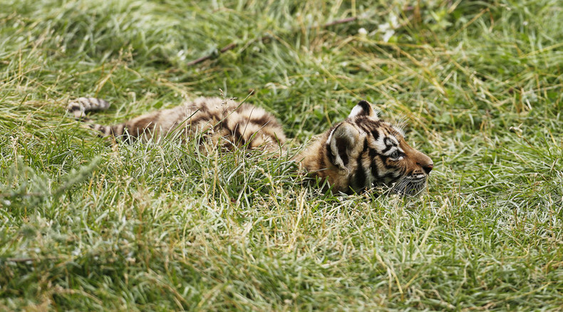Siberian tiger cub from Putin's conservation program shot 'point blank'