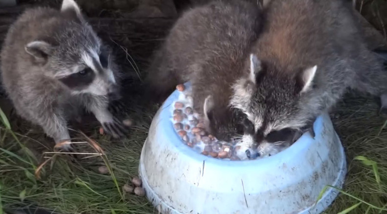 Cute raccoon loves milk so much it almost forgets to breathe (VIDEO)