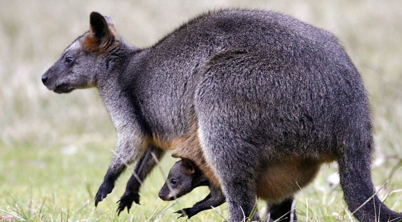 Scores of wallabies have small French village on the hop