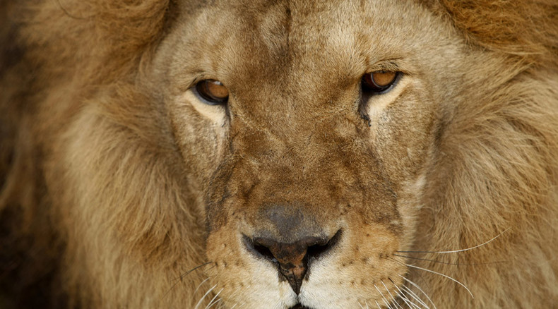 Hunting lions helps protect species, supports African economies – environment minister