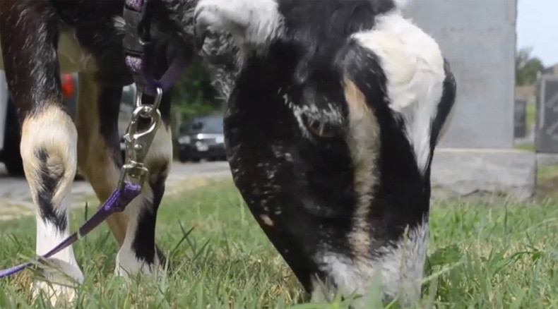 Kid job: Congressional Cemetery hires 30 goats to chomp invading vines (VIDEO)