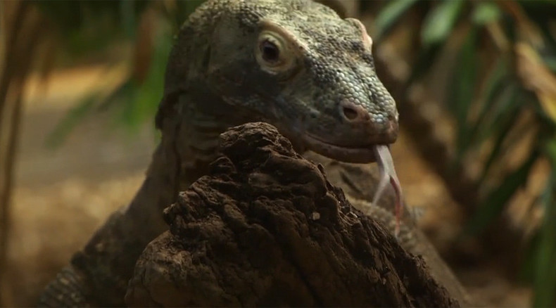 Enter the dragon: Komodo lizard arrives at London Zoo (VIDEO)