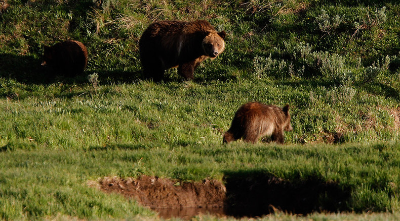 Mother grizzly bear to receive death penalty if DNA test proves she killed hiker