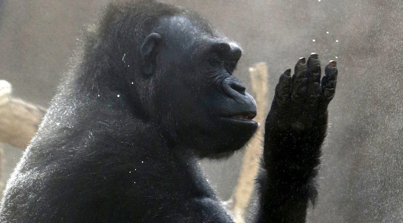 Gorillas may have capacity for speech - study
