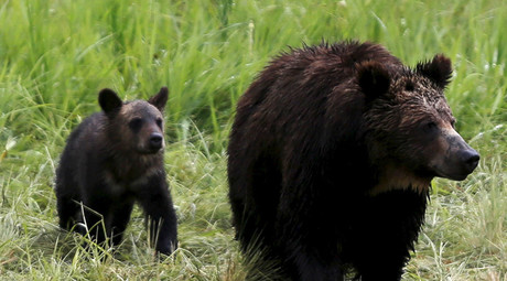 Roll over grizzly! Bear spotted tumbling childlike down a hill (VIDEO)