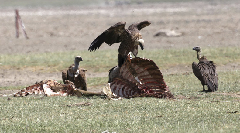 Ever wondered what it's like being eaten by vultures? This video shows it all!