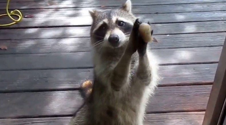 Backyard bandit: 'Rocksy' the raccoon knocks on door when she wants food (VIDEO)