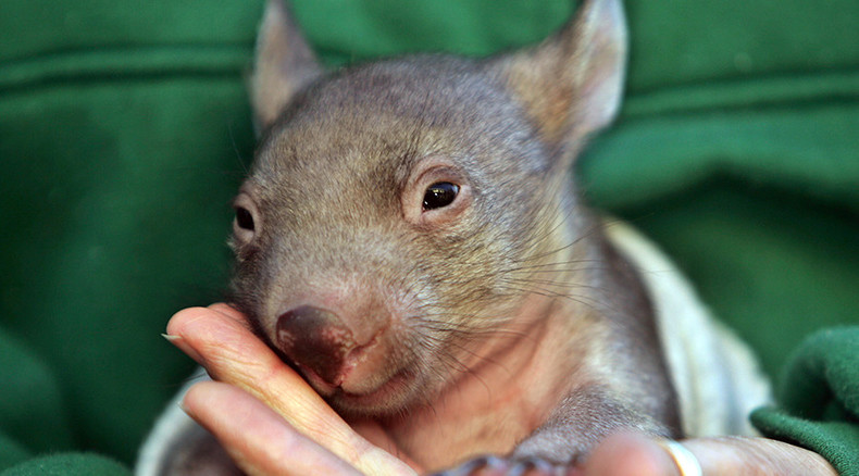 Ten wombats 'deliberately run over' at Australian camping site