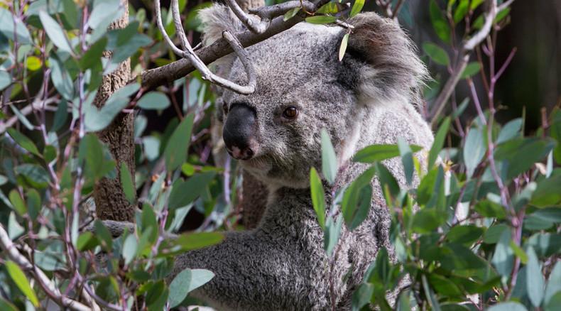 Overpopulation: Baby koala hugs teddy bear while authorities debate whether to kill its mom (PHOTO)