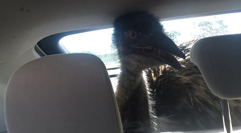 Follow that bird! Emo emu embarks on 80-mi adventure, attempts escape from Prius (PHOTOS)