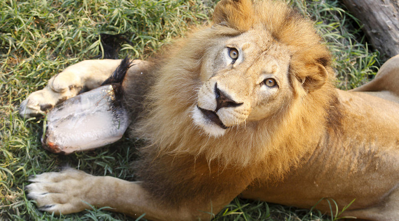 Danish zoo to dissect lion, inviting audience to see 'how fantastic a lion is'