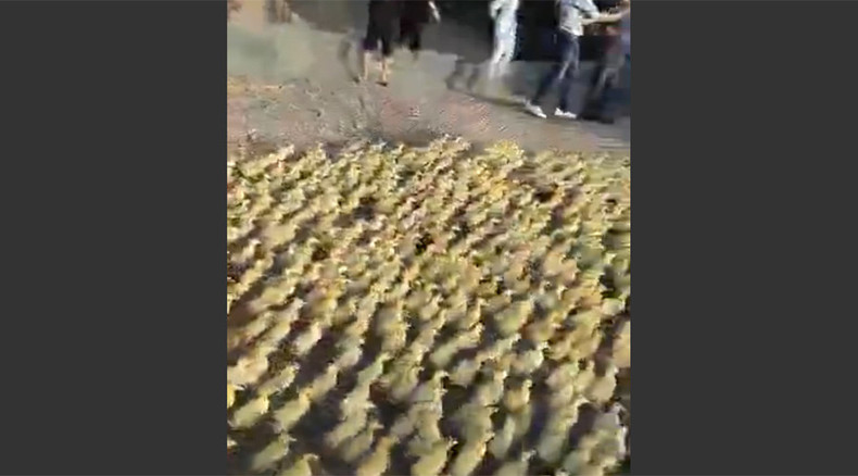 Altogether… 'Awww'! 5,000 cute ducklings waddle to pond for 1st ever swim (VIDEO)
