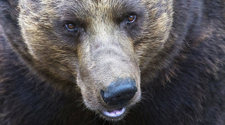 Brown bear breaks into Russian kindergarten, shot dead (VIDEO)
