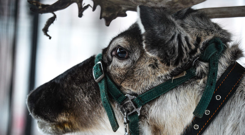 Where's Rudolph: Russia's Father Frost robbed of leading reindeer ahead of festivities
