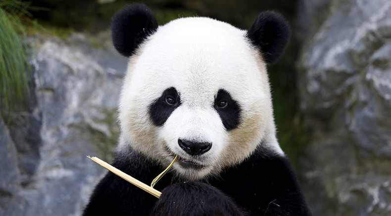 'Coo-Coo!' Do you speak Panda? Chinese scientists claim they've deciphered Panda language