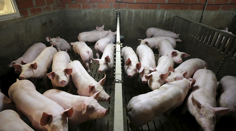 Undercover video shows pig maltreatment at major US pork supplier plant