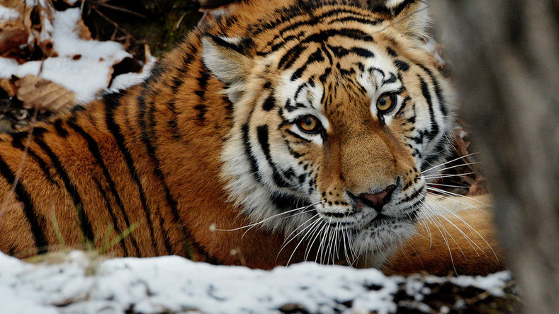 Siberian tigers facing starvation due to nut shortage – WWF