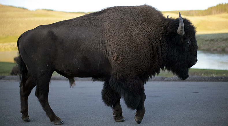 'Shameful': Yellowstone National Park considers killing 1,000 wild bison