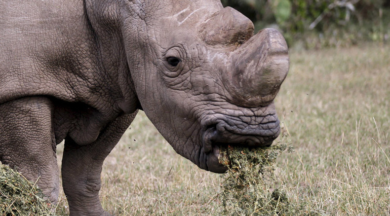 Scientists hope 'test-tube' calf can save northern white rhinos