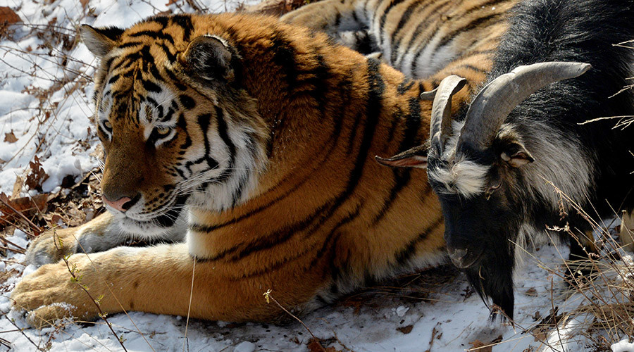A tiger's best friend is a... goat: Activists call on zookeepers to separate the pals