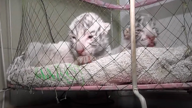 Bengal tiger cub dies at Crimea zoo amid power outage