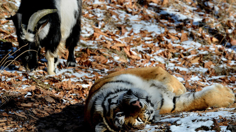 Tiger & goat: Big cat and 'failed lunch' now BFF in Russian safari park (VIDEOS)